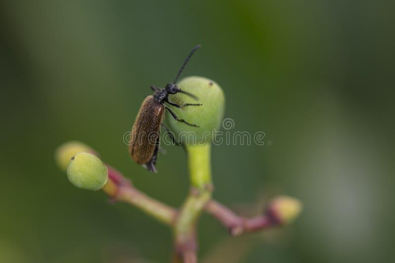 Phyllopertha horticola, klättringar på mutterfrukten, slut upp arkivfoto