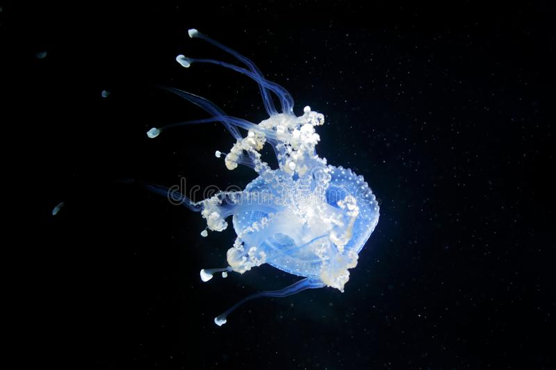 Phyllorhiza punctata, Australian spotted jellyfish in the dark sea water. White blue jellyfish in nature ocean habitat. Water floa stock photo