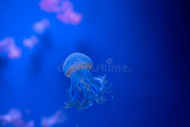 Phyllorhiza punctata jellyfish floats in deep blue water. Australian spotted jellyfish. ultraviolet royalty free stock photos