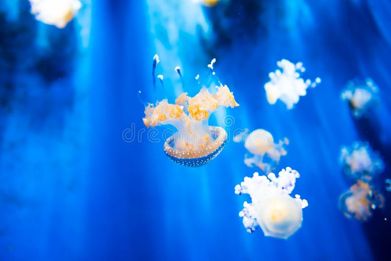 Phyllorhiza punctata or white spotted jellyfish. Phyllorhiza punctata is a species of jellyfish, also known as the floating bell, Australian spotted jellyfish or stock image