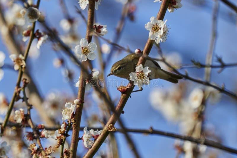 Phylloscopus collybita bird stock image