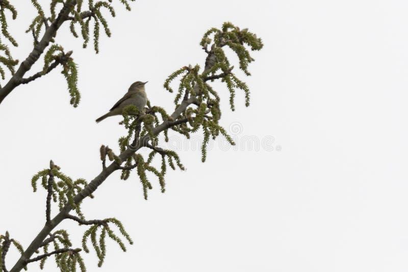 Phylloscopus collybita bird stock photos