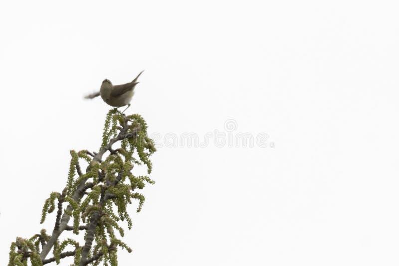 Phylloscopus collybita bird stock photo