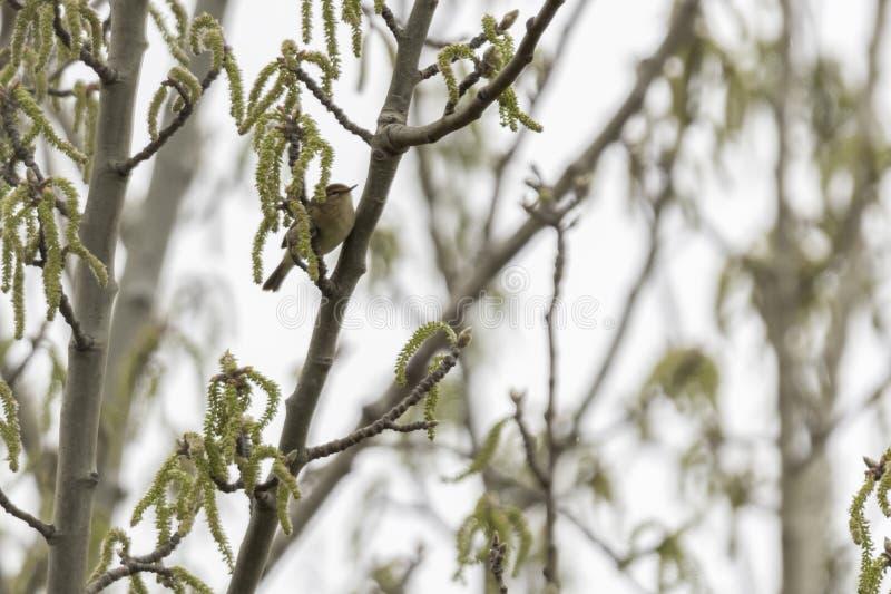 Phylloscopus collybita bird royalty free stock photography