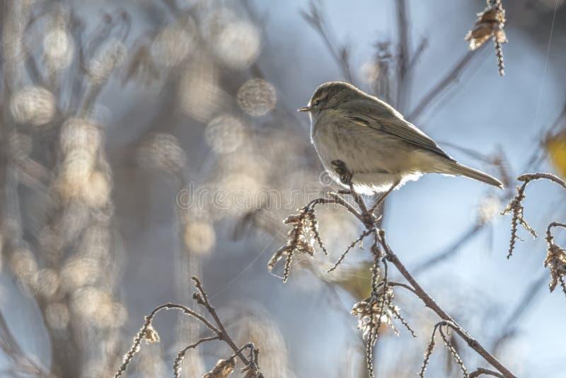 Phylloscopus collybita bird royalty free stock photo