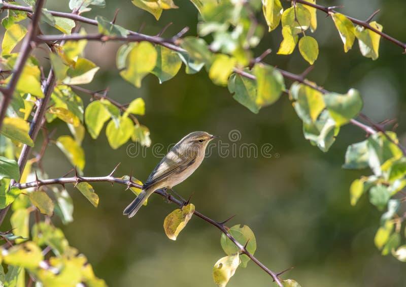 Phylloscopus collybita bird on tree in the park stock images