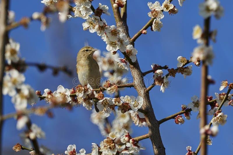 Phylloscopus collybita bird royalty free stock photos