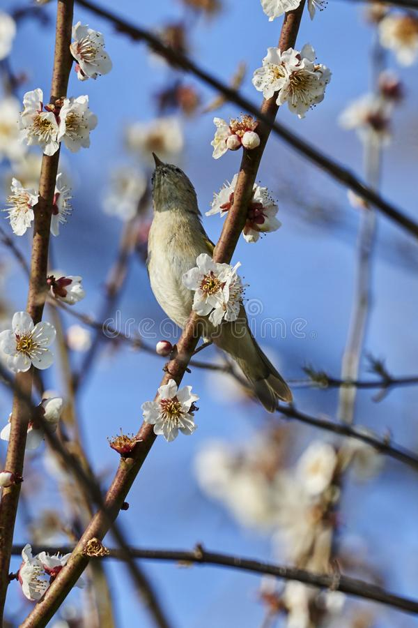 Phylloscopus collybita bird royalty free stock images