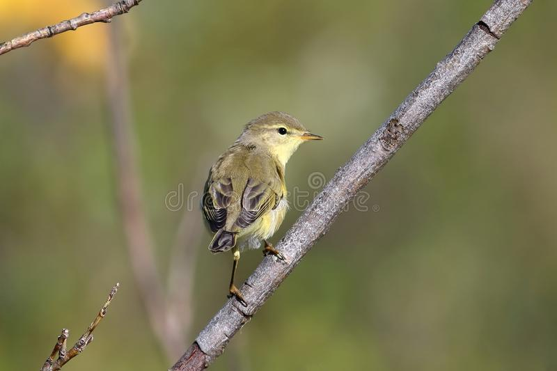 Phylloscopus trochilus. Willow Warbler on the Yamal Peninsula. Phylloscopus trochilus. Willow Warbler Sunny day in Siberia royalty free stock photography