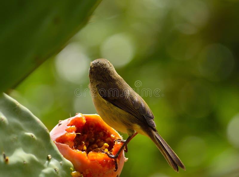Phylloscopusvogel op stekelige peer royalty-vrije stock foto's