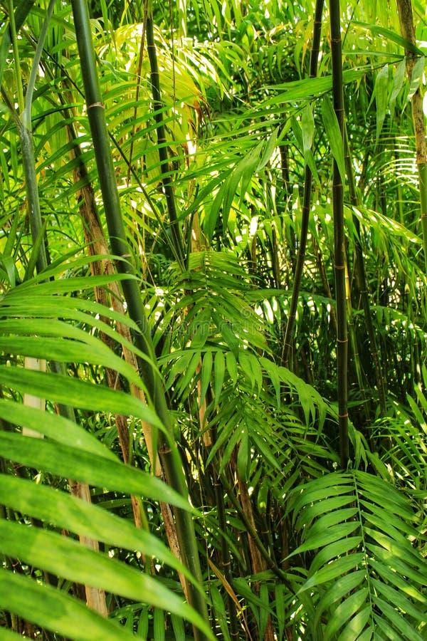 Phyllostachys老黑,紫竹在庭院里 库存照片
