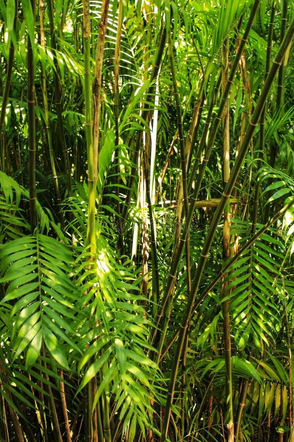 Phyllostachys nigra, czarny bambus w ogródzie zdjęcia stock