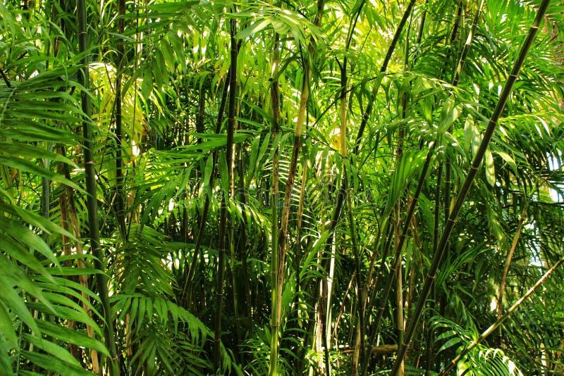 Phyllostachys nigra, czarny bambus w ogródzie obraz stock
