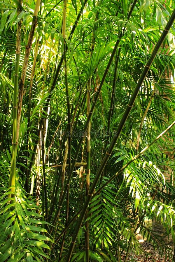 Phyllostachys nigra, czarny bambus w ogródzie zdjęcie stock
