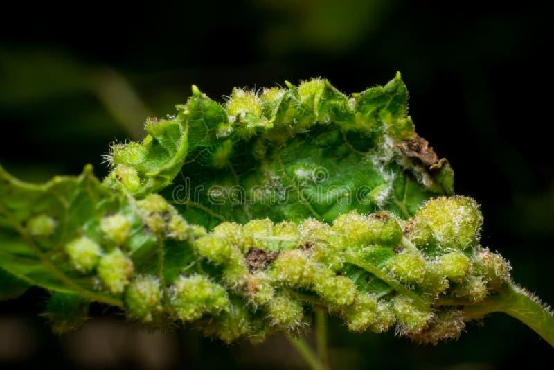 Phylloxera vastatrix, daktulosphaira vitifoliae, malattia della vite immagine stock libera da diritti