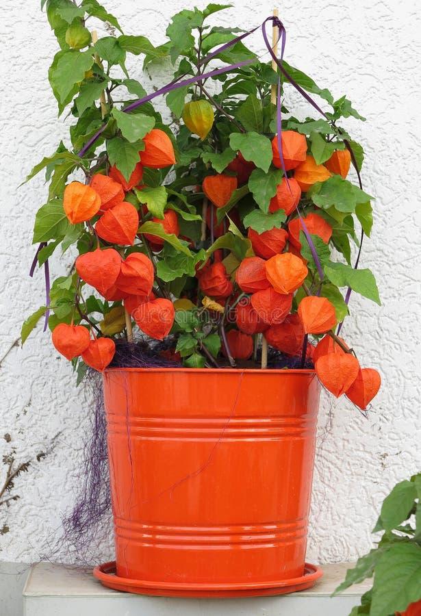 Physalis φυτών φθινοπώρου στοκ εικόνα με δικαίωμα ελεύθερης χρήσης
