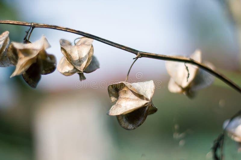 Physalis angulata ist in der Natur trocken stockfoto