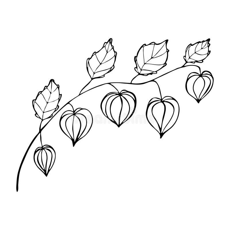 Physalis dibujado mano libre illustration