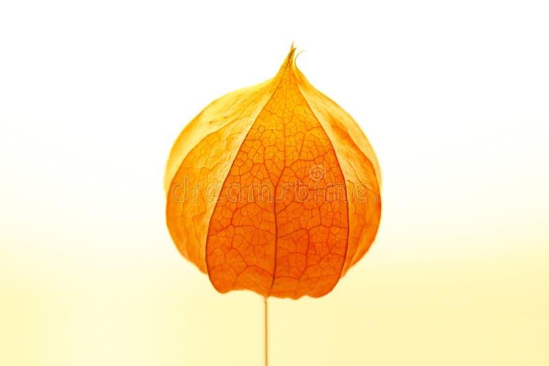 Download Physalis on light stock photo. Image of flower, elegant - 7062878