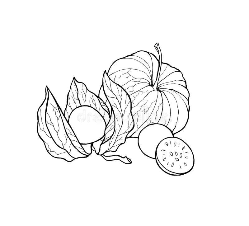 Physalis lumineux coloré tiré par la main, baies Contour, CCB blanc illustration stock
