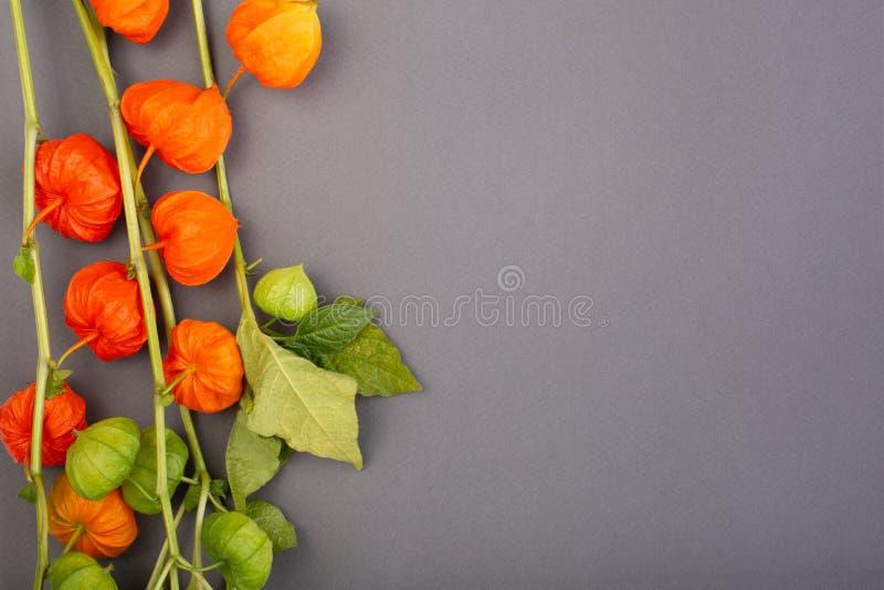 Physalis no fundo cinzento, textura, aplicação do outono, com physalis, espaço da cópia imagens de stock