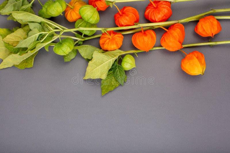 Physalis no fundo cinzento, textura, aplicação do outono, com physalis, espaço da cópia foto de stock royalty free