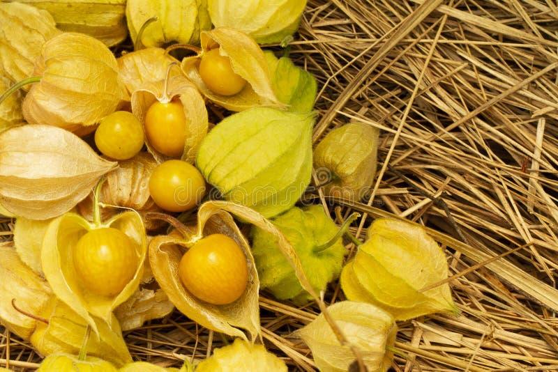 Physalis Peruviana för uddekrusbär eller jordkörsbär, vinterkörsbär, Physalisminimi, Incabär, guld- jordgubbe royaltyfri bild