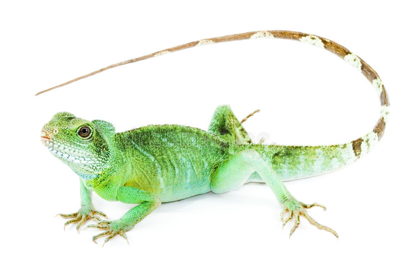 Download Physignathus cocincinus stock photo. Image of nature, green - 5561868