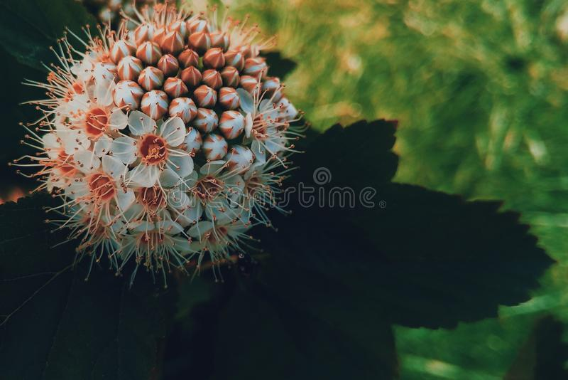 Physocarpus capitatus fotografia stock