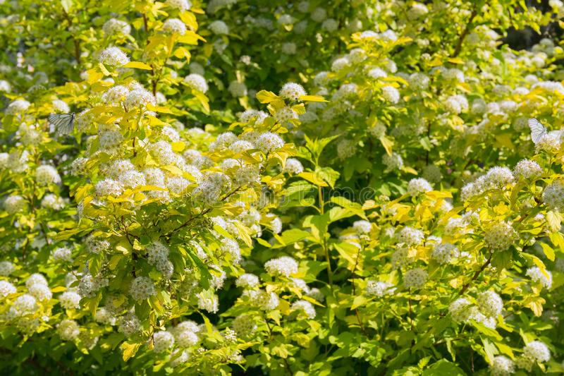 Physocarpus de floraison luxuriant dans le jardin d'été Inflorescences des fleurs blanches comme neige et des papillons se reposa photos libres de droits