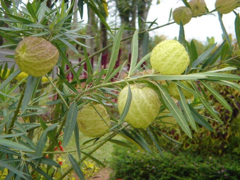 Physocarpus de Gomphocarpus o planta de Balloonplant o del cisne imagenes de archivo