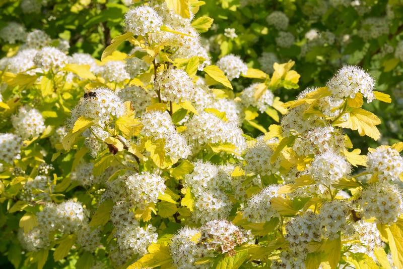Physocarpus di fioritura fertile nel giardino di estate Inflorescenze dei fiori bianchi come la neve e un'ape che si siede su lor immagini stock