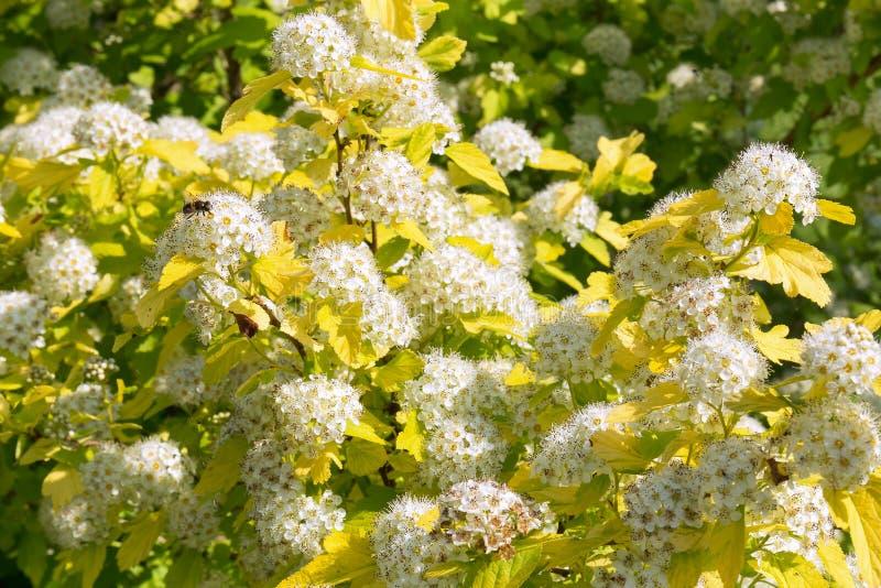 Physocarpus floreciente enorme en el jardín del verano Inflorescencias de flores blancas como la nieve, y una abeja que se sienta imagenes de archivo