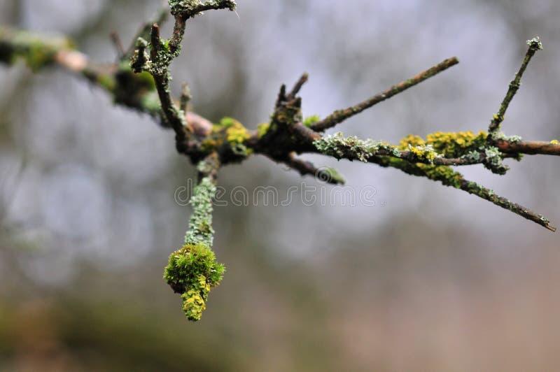 Physodes de Hypogymnia et champignons lichenized par mousse s'?levant sur une branche photo libre de droits