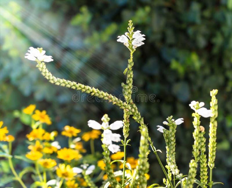 Physostegia por la tarde de la luz del sol imágenes de archivo libres de regalías
