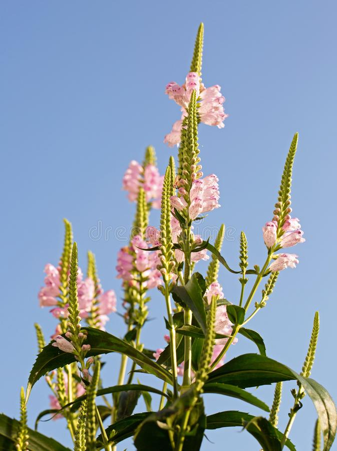 Physostegia - una planta vertical rosada alta contra un cielo pálido natural del bue imágenes de archivo libres de regalías