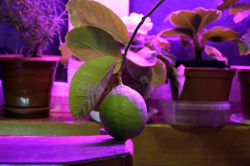 Phyto lamp  agrolamp  illuminates tropical pot plants indoor. Phytolamp  agrolamp  illuminates tropical citrus trees at the window during winter time. Special royalty free stock images