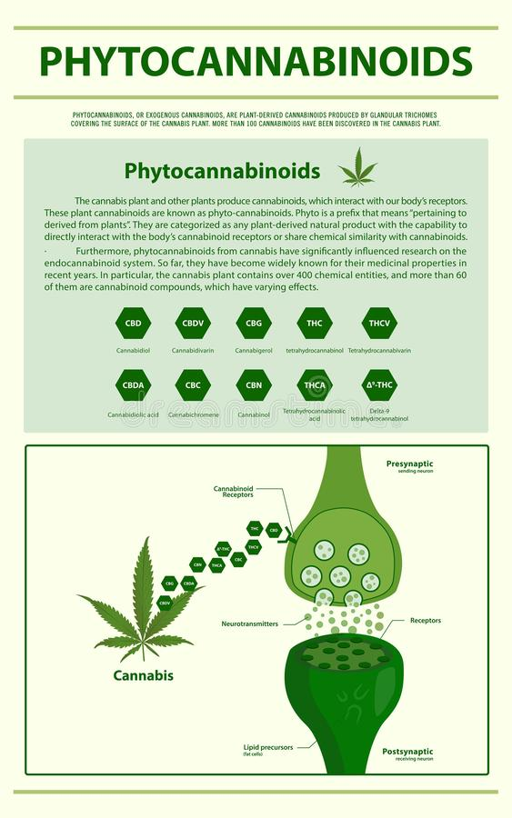 Phytocannabinoids vertical infographic. Illustration about cannabis as herbal alternative medicine and chemical therapy, healthcare and medical science stock illustration