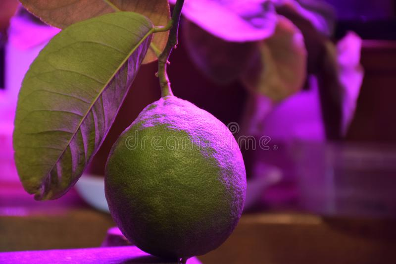 Phytolamp  agrolamp  illuminates tropical citrus tree. S at the window during winter time. Special lighting continuation daylight royalty free stock photography
