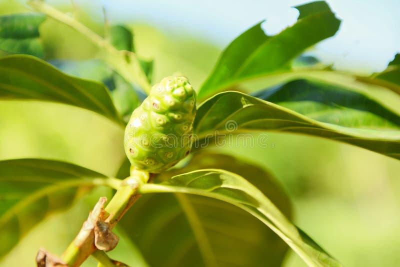 Phytothérapies de fruit de Noni/noni frais sur l'arbre - l'autre grande morinda de noms, mûre ou Morinda Citrifolia de plage photos libres de droits