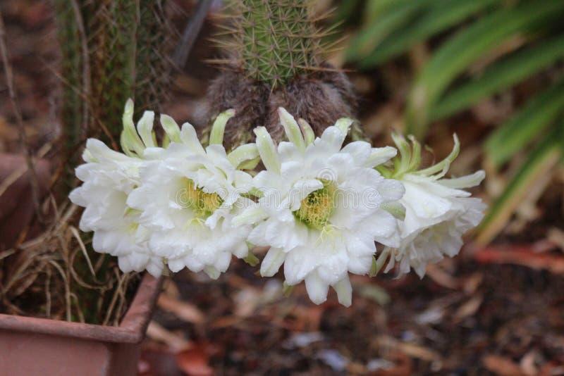 Pięć bielu kaktusa kwiatów na roślinie obraz royalty free
