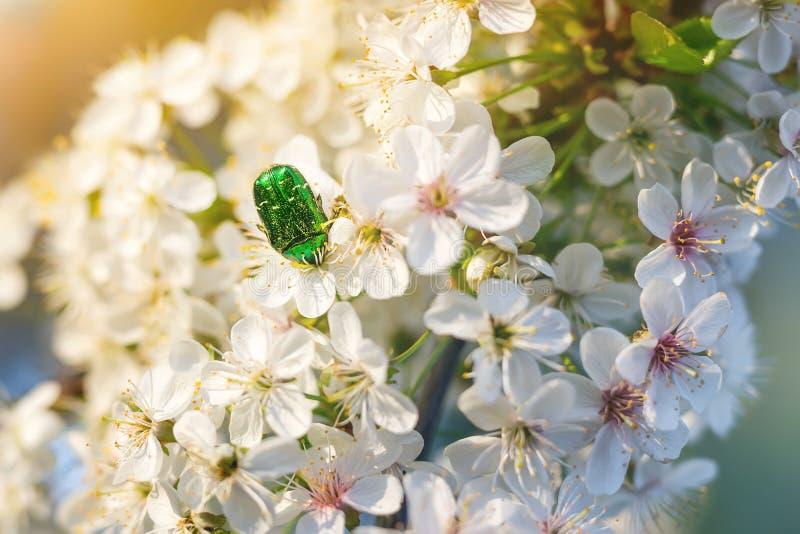 Piękna ściga &-x28; Różany chafer - Cetonia aurata&-x29; zbierający kwiatu pollen na kwitnąć czereśniowego drzewa Zakończenie Mak zdjęcia stock