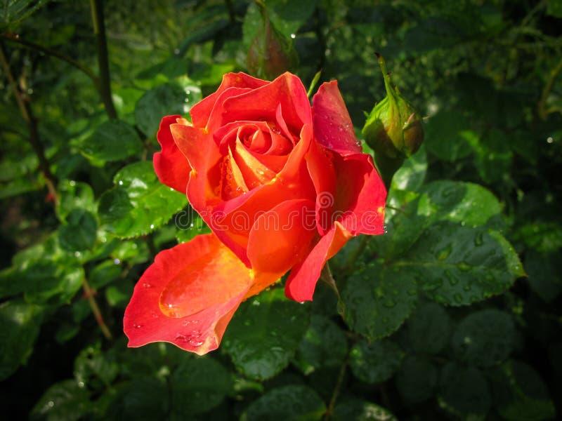 Piękna czerwieni róża z rosa kroplami w ogródzie na słonecznym dniu Ideał dla tło kartek z pozdrowieniami zdjęcie stock