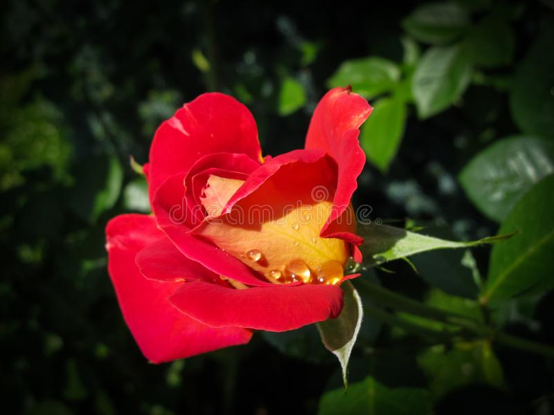 Piękna czerwieni róża z rosa kroplami w ogródzie na słonecznym dniu Ideał dla tło kartek z pozdrowieniami zdjęcie royalty free