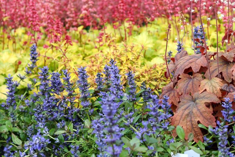 Piękna kolorowa mieszanka kwitnąć błękita, koloru żółtego i czerwieni byliny, Błękitnej gądzieli bugleherb, czerwieni heucherella zdjęcie royalty free