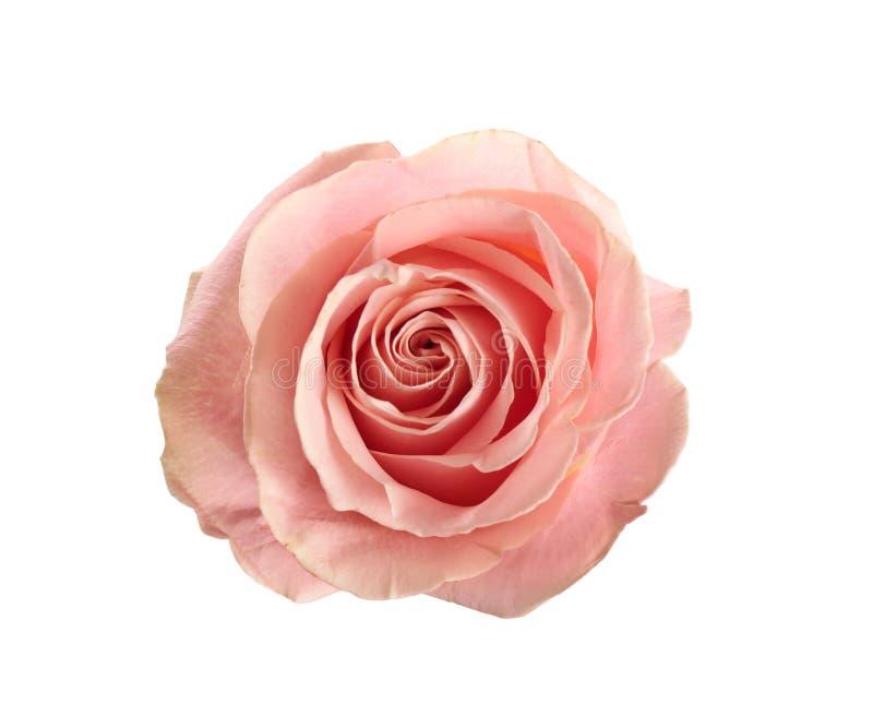 Piękna menchii róża na białym, odgórnym widoku, Perfect prezent obraz royalty free