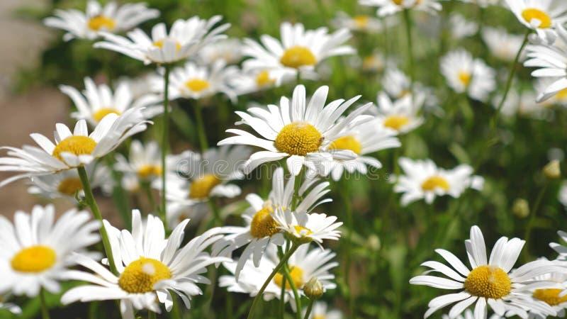Piękna stokrotka kwitnie w wiośnie na łące biali kwiaty trząść wiatr w summerfield Zakończenie zdjęcie stock