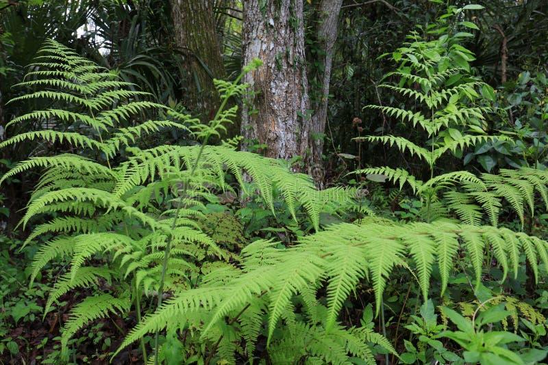 Piękne Zielone paprocie z Tropikalnym tłem zdjęcie stock