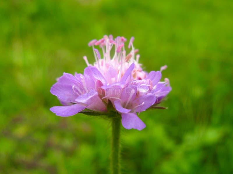 Pięknego osamotnionego jaskrawego lilego purpur menchii pola łąkowy kwiat obrazy royalty free