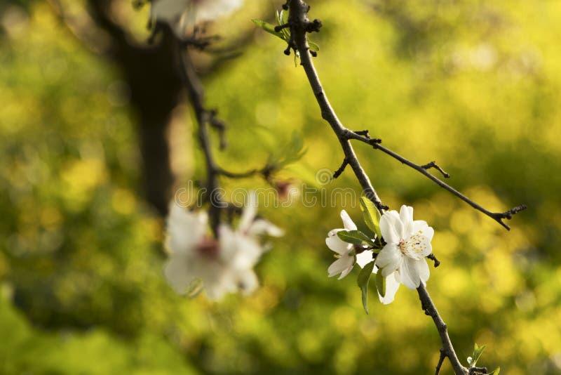 Piękni biali kwiaty migdał fotografia royalty free